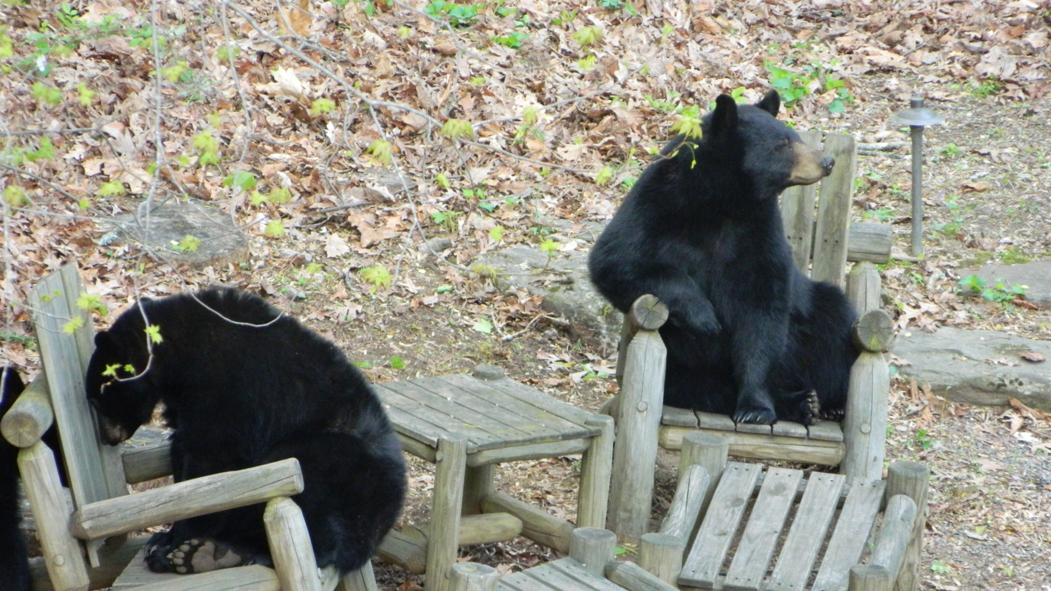 Marketers: Bears like chairs, especially these Asheville chairs