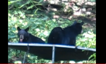 Nature video? Just some bears on a trampoline