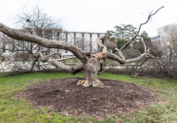 Crab apple tree on UNC Asheville campus felled by high winds.