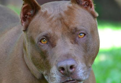Ashvegas Pet of the Week: Romeo the pit bull terrier