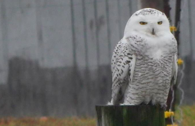 Snowy owl spotted in Transylvania County; WLOS reports owl is sick, being cared for