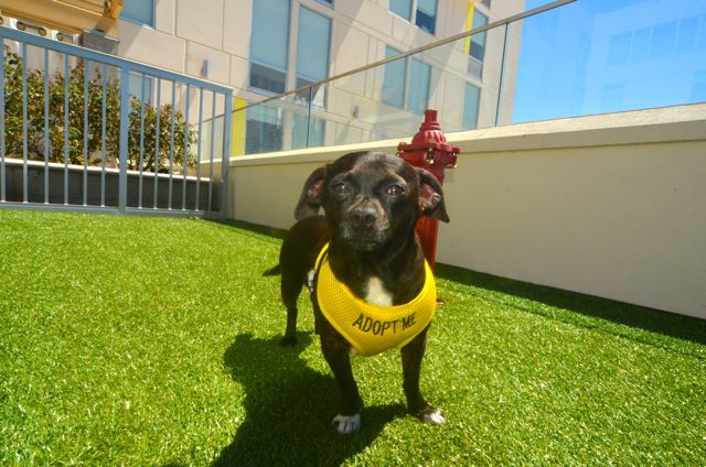 A different kind of guest at Aloft Hotel in Asheville: adoptable dogs