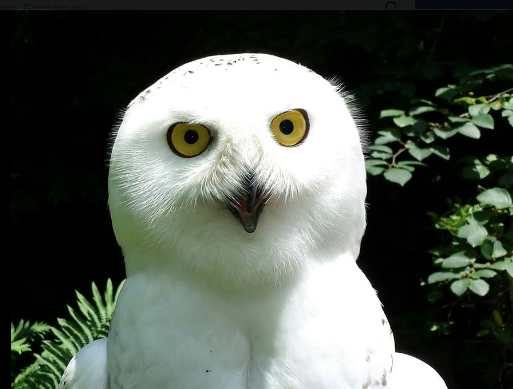Ashvegas Hot Sheet: Tundra the snowy owl has died