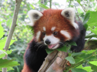 Word on the street: Red pandas coming to WNC Nature Center