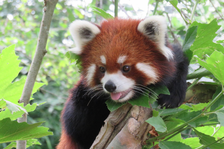 how to buy a red panda