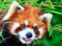 WNC Nature Center seeks crowdfunding support for red panda exhibit