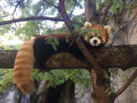Red pandas Leafa and Phoenix star at new WNC Nature Center exhibit